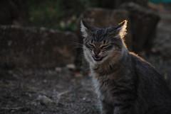 Basilisky #4 (Abbruxiau) Tags: sardegna cats cat beige tramonto foto arte colori gatto ritratto gatti animali luce giardino passione scutigera puzzy nurallao basilisky capinosi stronziggeri