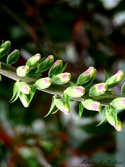 Do nothing till you hear from me... (Marcia Portess) Tags: flowers plants bokeh buds budding pinkgreen donothingtillyouhearfromme marciaportess marciaaportess