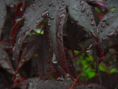 IMGP8025 Wet Japanese maple leaves (shutterbroke) Tags: tree wet water leaves japanese drops maple pentax shots optio ws80 shutterbroke