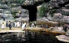 Penguins (elnina999) Tags: ocean life park family sea vacation people plants fish galveston color building tourism water glass look animal coral museum architecture fun aquarium shark big education marine tour tank view place watch crowd group landmark science location tourists architectural observe enjoy aquatic gigantic learn loro attraction crowded pinguins pointandshot tunne nokian8
