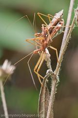 IMG_6919 copy (Kurt (orionmystery.blogspot.com)) Tags: mating assassinbug assassin reduviidae reduviid bugsporn