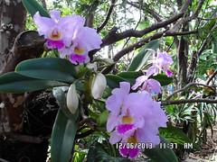 SAM_0414 (fonseca27) Tags: orquidea campinas mata flres