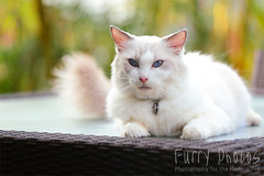 130608_Anise_045 (furry-photos) Tags: portrait dog pet cat action outdoor ragdoll