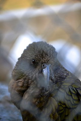 Caged ( Peter_NZL) Tags: bird parrot caged alpine southisland kea d3100