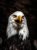 Bald Eagle, Wotan (nilacop) Tags: allxpressus