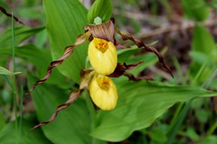 Cypripedium parviflorum (Yellow Lady's Slipper Orchid) (Arthur Chapman) Tags: ontario canada orchid manitoulinisland cypripedium yellowladysslipper parviflorum cypripediumparviflorum taxonomy:class=magnoliopsida geo:country=canada taxonomy:kingdom=plantae taxonomy:family=orchidaceae yellowladysslipperorchid taxonomy:phylum=magnoliophyta taxonomy:order=asparagales geocode:method=googleearth geocode:accuracy=100meters taxonomy:genus=cypripedium taxonomy:binomial=cypripediumparviflorum taxonomy:common=yellowladysslipper