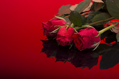 Nikon lens test 105mm (johnhjic) Tags: red stilllife color colour reflection green love water colors rose reflections reflecting colours romance hart reflaction harts