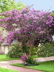 Crape Myrtle (dog.happy.art) Tags: pink flowers flower tree garden texas purple bloom mauve flowering blooming crapemyrtle lagerstroemiaindica