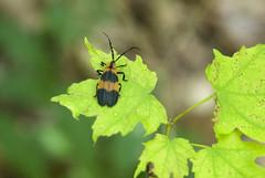 Net-winged Beetle (S_Crews) Tags: insect beetle indiana arthropod bandednetwing calopteronreticulatum calopteron turkeyrunstatepark lycidae netwingedbeetle lycinae calopterini