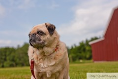 Maizie (maimerd) Tags: dog pet animal farm country pug