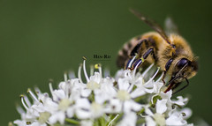 Bee (Hen Rei) Tags: flowers macro green nature canon eos insects bee tamron 90mm 550d