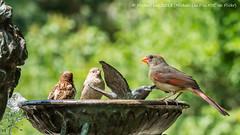 Bird Bath (P1730510) (Michael.Lee.Pics.NYC) Tags: park newyork bird fountain garden bath cardinal bokeh central conservatory sparrow burnett