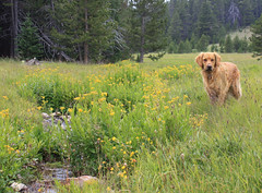 (gebodogs) Tags: camping goldenretriever hiking sandy wyoming bighornmountains gilligansprings road422