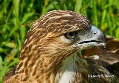 Red-tailed Hawk (Lindell Dillon) Tags: nature canon raw hawk raptor redtailedhawk buteo eos7d reddirtpics lindelldillon wildcareoklahoma