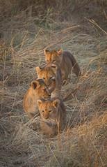 IMG_3384 (Keen2C) Tags: red cub lion cubs lioncub lioncubs maasaimara flickrbigcats