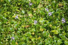 Common Water Hyacinth (stevesheriw) Tags: texas lagrange fayettecounty flower flowers wildflower wildflowers eichhorniacrassipes commonwaterhyacinth