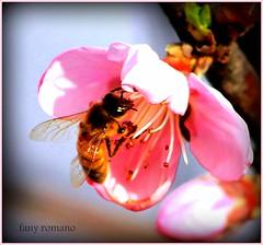 ¡ LABORIOSA ! (Clic - Fany Romano) Tags: flowers flores primavera canon arboles bee ape abeja petalos blinkagain bestofblinkwinners blinksuperstars fanyromano durasnos