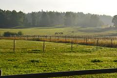 Horses in a field (@lattefarsan) Tags: morning horses mist landscape countryside nikon sweden landskap dimma d5200