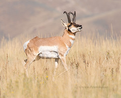 Buck Pronghorn Vocalizing (Fly to Water) Tags: game male photography big call wildlife antelope buck calling vocal pronghorn vocalizing