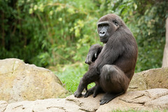 2013-09-10-12h06m07.272P9396 (A.J. Haverkamp) Tags: germany zoo gorilla hannover dierentuin westelijkelaaglandgorilla canonef100400mmf4556lisusmlens kiburi httpwwwzoohannoverde pobhannovergermany dob27062004