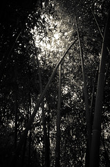 Bamboo Forest II (nzkphotography) Tags: bw forest noiretblanc bamboo gr ricoh