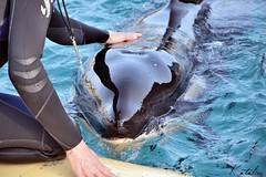 Keijo (Kataaku) Tags: baby mammal marine caroline killer whale orca calf shamu antibes marineland mammifre 2014 orcinus catenacci orque ctac paulard wikie kataku kataaku