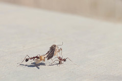 Teamwork (photogenicZ) Tags: macro nikon venus walk ant moth az ants d90 orovalley venus60mmf28