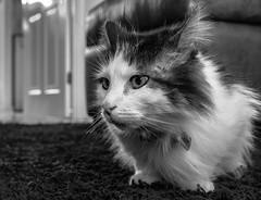 On the carpet Tilly the 3-legged cat (Up Close) (BW) (Panasonic LX100) (markdbaynham) Tags: leica bw pet white black cute cat lens lumix feline zoom panasonic ft tilly 43rd compact 3legged lx pany evf fourthird lx100 2475mm f1728