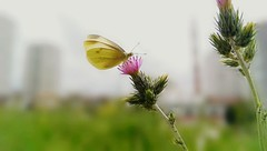 (*Tue*) Tags: nature yellow butterfly photography focus flickr phone shot htc flickrturkey