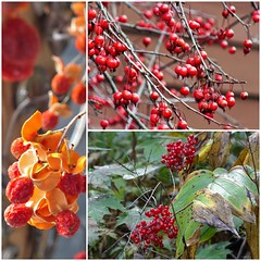 Fall Berrries and Fruits (Lana Pahl / Country Star Images) Tags: petalsandfrost colorsofflickr ilovenature