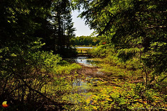 Moss Lake Bog Preserve, Summer 2016 (DTD_4984) (masinka) Tags: outdoors moss lake bog preserve summer 2016 nature woods pond landscape swamp colors green yellow bridge walk hike hiking trail wny newyork nys