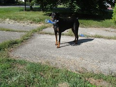 1474639821_2016_Sep_23_10-10-21_waterbottle074 (yclept8) Tags: doberman julie