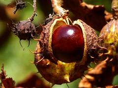 Kastanie (dorisgoebel) Tags: frucht fruit kastanie chestnut natur