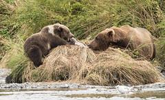 Are We Sharing? (Rick Derevan) Tags: alaska kodiak kodiakbearkodiak brown bearbrown bear