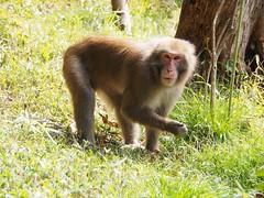 Japanese macaque, Macaca fuscata (M_Strasser) Tags: japanesemacaque macacafuscata olympusomdem1 olympus japan kyoto