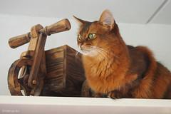 Back in full colour (Finn Frode (DK)) Tags: cats watch shelf caithlin dusharacathalcaithlin somali somalicat som leneraarup olympus omdem5 denmark animal pet cat indoor