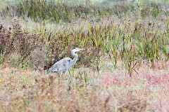 White In The Field (UnsignedZero) Tags: animal bird birds california item landscapes landscaping object out outdoor outdoors outside outsides paloalto paloaltobaylands rainy water weather