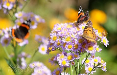 American Lady & Red Admirals (bellydanser) Tags: butterfly redadmirals americanlady insect nature animal bee outdoor flora fauna