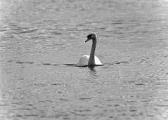 Swimming Swan (J @BRX) Tags: muteswan swan cygnusolor bird roundhaypark leeds yorkshire england uk park lake water october2016 autumn blackandwhite noir bw