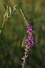 Tettigoniidae sobre Lythrum (Hachimaki123) Tags: animal insect insecto orthopteran ortptero ortoptero tettigoniidae lythrum