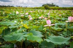 Lotus Farm (Gabriela Nakayoshi) Tags: lotusfarm camboya asia cambodia d90 nikon temple 500mmf14