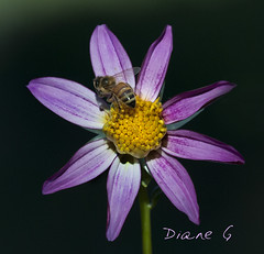 Dahlia (Diane G. Zooms---Mostly Off) Tags: dahlia dahliawithbee nature dianegiurcophotography coth coth5