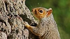 Squirrel in autumn sun (jaytee27) Tags: squirrel naturethroughthelens