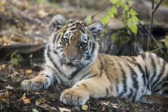 Amur Tiger Cub Ina (Korkeasaaren elintarha) Tags: korkeasaarenelintarha elintarha korkeasaari hgholmensdjurgrd djurgrd helsinkizoo hgholmen zoo animals zooanimals amurtiger amurtigercub pantheratigrisaltaica amurintiikeri
