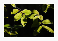 Green In The Dappled Light (bnishimoto) Tags: sooc fuji fujifilm myfujifilm xpro2 35mm classicchrome natureisfine firstkeepers series nature green light backyardfind