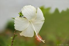 HIBISCUS ROSA-SINENSIS Flower (Galib Emon) Tags: hibiscusrosasinensis flower hibiscus outdoor depthoffield plant blossom serene white green nature beautiful stamen portrait wonderful colours flickr canon eos 7d efs18135mm f3556 is chittagong bangladesh spring copyright galib emon