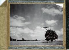 (Matt Chalky Smith) Tags: roidweek polaroid type54 speedgraphic oak oaktree cornfield lonetree blackandwhite