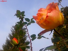 rosa d'autunno (archgionni) Tags: plants fiori flowers rosa rose arancione orange petali petals foglie leaves cielo sky natura nature autunno autumn spine christiangroup