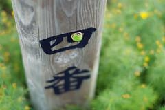 1 (  / Yorozuna) Tags:        amphibian    green color    no4  4 four    kanji character type font  niigata  nagaoka japan treefrog japanesetreefrog frog pentaxautotakumar55mmf18