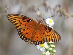 Gulf Fritillary (Agraulis vanillae) (Rezamink) Tags: gulffritillary agraulisvanillae butterflies usa